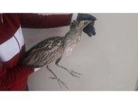 Kars'ta yaralı Balaban kuşu tedavi altına alındı