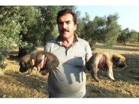 Burhaniye'de kuyruksuz doğan köpek yavruları sahiplendirilecek