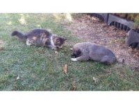 Kangal ile kedinin dostluğu