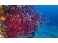 Kırmızı Mercanlar için proje
