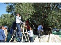 Bin 657 yaşındaki ağaçtan zeytin hasadı