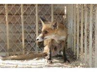 Antalya'da yaralı tilki yavrusu ve iki balaban kuşu tedavi edildi