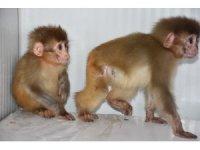 Şırnak'ta nesli tükenme tehlikesi altında olan 2 örümcek maymun ele geçirildi