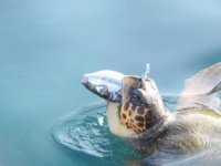 Validen balon balığı yiyen caretta caretta paylaşımı