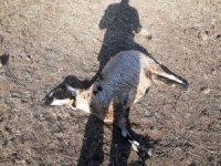 Kurtlar sürüye daldı, 20 koyun telef oldu