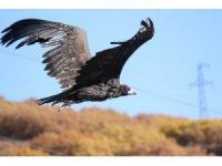 Nesli tehlike altında olan Kara Akbaba Erzincan'da görüntülendi