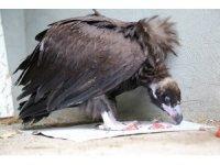 Kara akbaba Munzur Vadisi'nde ilk kez görüldü