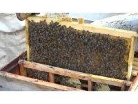 Arılar kış uykusuna yatırılıyor