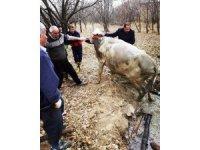 Su dolu kuyuya düşen ineği itfaiye kurtardı