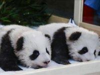 Berlin'de dünyaya gelen pandalara isimleri verildi
