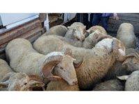 Siirt'te hayvan hırsızlığı yapan 2 kişi gözaltına alındı