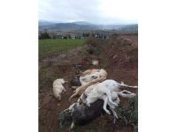 Osmaniye'de onlarca köpeği öldürüp çukura doldurdular