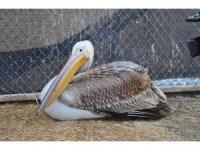 Göç yorgunu aç ve yaralı pelikan tedavi altına alındı