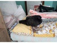 Kurtardığı güvercinle yatağını paylaştı