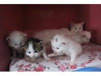 Yılın ilk Van kedileri dünyaya geldi
