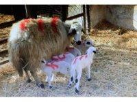 Gökhöyük Tarım İşletmesi'nde bir koyun beşiz yavruladı