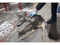 Bolu'da, kaza geçiren yavru gazelle, ormancılar tarafından kurtarıldı