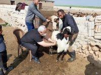 Suriye'deki büyük ve küçükbaş hayvanlar kayıt altına alınıyor