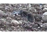 Siirt'te yavru su samuru doğal ortamına bırakıldı