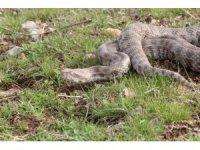 Burdur'da bulunan Koca Engerek Şanlıurfa bozkırlarında doğaya bırakıldı