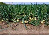 Soğana ihracat izni çıkmazsa fiyatlar düşecek