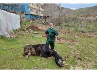 Acı içinde kıvranan ineğin doğumunu Tarım ve Orman Müdürü gerçekleştirdi