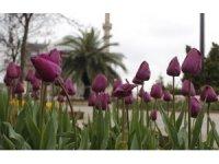 Baharla birlikte laleler kartpostallık görüntüler oluşturdu