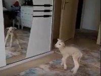 Evde bakılan kuzu karantina neşesi oldu