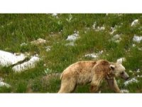 Kış uykusundan uyanan boz ayı yiyecek ararken görüntülendi