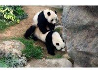 Hong Kong'da korona virüs nedeniyle kapanan hayvanat bahçesindeki pandalar 10 yıl sonra çiftleşti