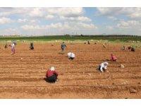 Tarım işçileri sosyal mesafe kuralına uyuyor