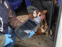 Buzağısını veterinere maskeyle götürdü
