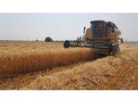 Osmaniye'de buğday hasadı başladı