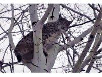 Elazığ'da ağaca tırmanan vaşak görüntülendi