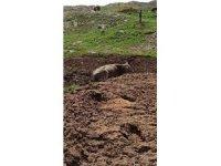 Hayvan dışkısına saplanan inek kurtarıldı