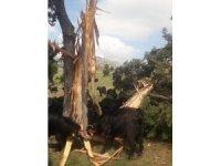 Üzerine yıldırım düşen 8 metrelik ağaç ikiye bölündü