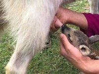 Ormanda annesini kaybeden yavru karaca keçi besiciliği yapan aileye teslim edildi