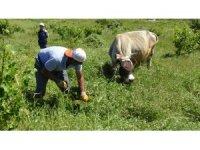 Gercüş'te çiftçiler hayvanlarının kışlık yem ihtiyacı için ot topluyor