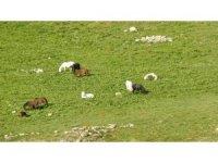 Munzur Dağlarındaki yılkı atları görüntülendi