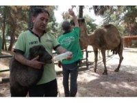 Gaziantep Hayvanat Bahçesi'nde yavru deve ve zebra heyecanı