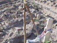 Örnek gösterilen bahçedeki armut fidanlarına zarar verdiler