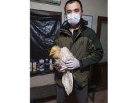Eskişehir'de uydu vericisi takılı küçük akbaba bulundu