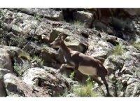 Erzurum'da dağ keçisi görüntülendi