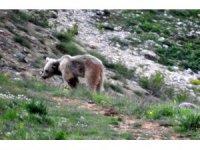 Bayburt ve Erzincan'da yiyecek arayan boz ayı görüntülendi