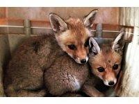 Anneleri telef olan yavru tilkiler koruma altına alındı