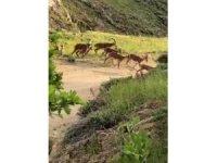 Malatya'da yaban keçileri sürü halinde görüntülendi