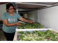 İpek böcekçiliği Defne Koza Evi'nde yaşatılıyor
