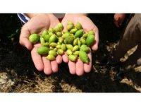 Afrika sıcakları narenciye meyvelerini kuruttu