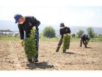 Ata tohumları toprakla buluşmaya devam ediyor