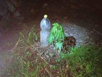 Bahçede pet şişe ile yetiştirilen kenevir bitkisine jandarma baskını